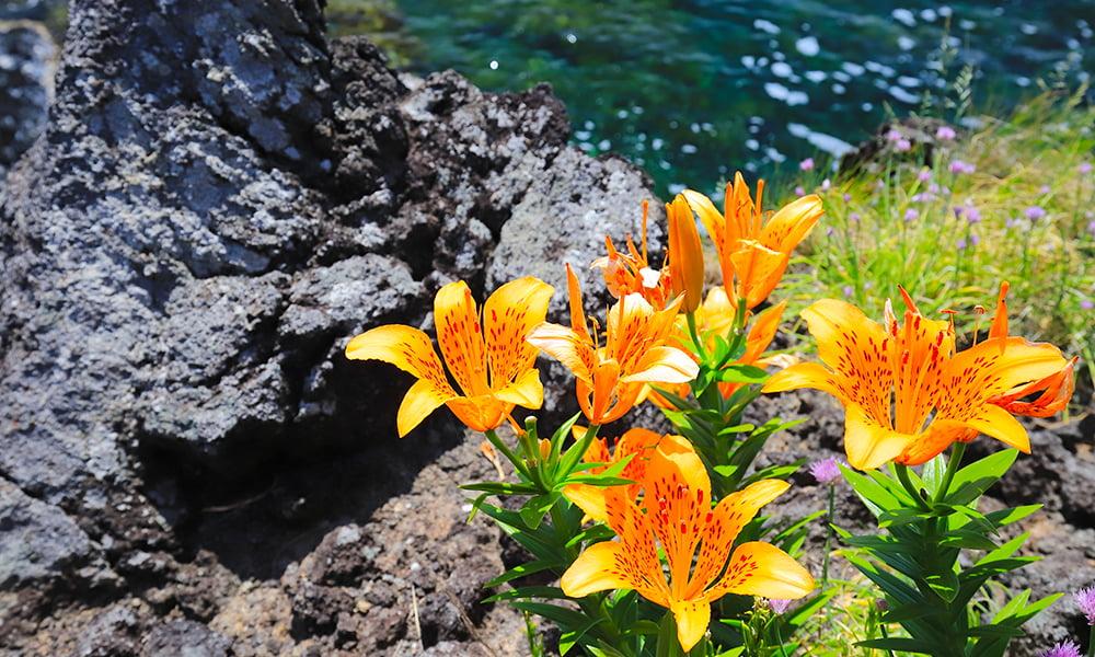 岩ユリ[北鵜島]5月中旬~6月中旬